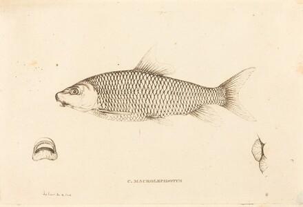 C. Macrolepidotus