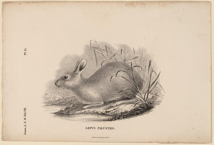 Lepus Palustris