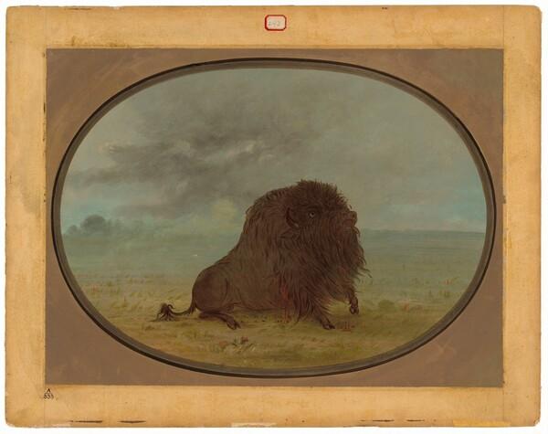 Dying Buffalo Bull