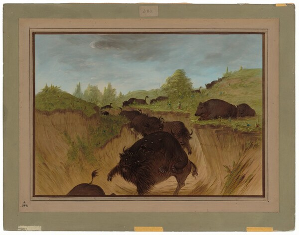 Grizzly Bears Attacking Buffalo