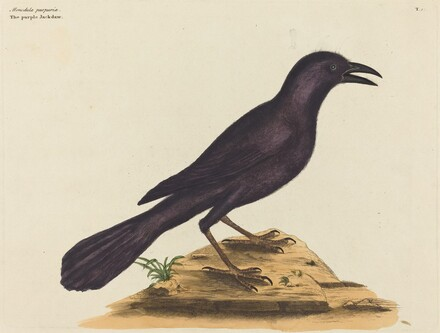 The Purple Jack Daw (Gracula Quiscula)