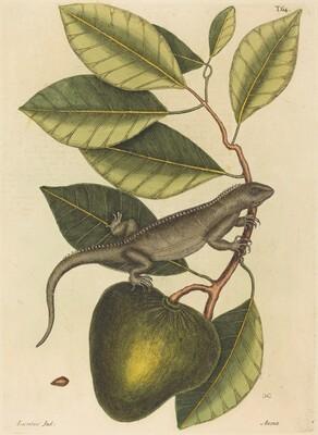 The Guana (Lacerta Iguana)