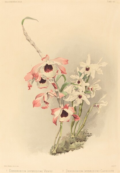 Dendrobium (Hybridium) Venus and Dendrobium (Hybridium) Cassiope