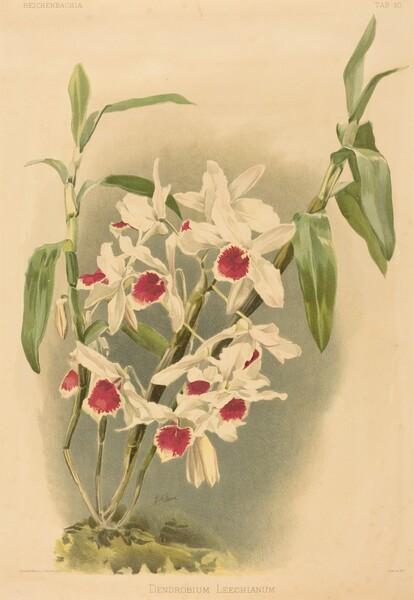 Dendrobium Leechianum