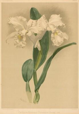 Cattleya Mendelii Quorndon House Var.