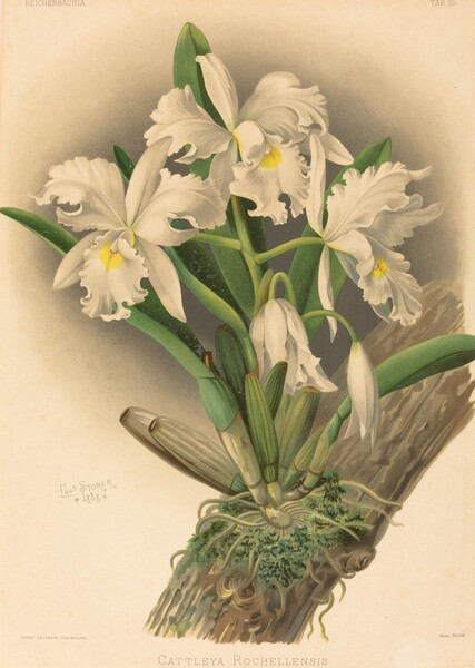 Cattleya Rochellensis