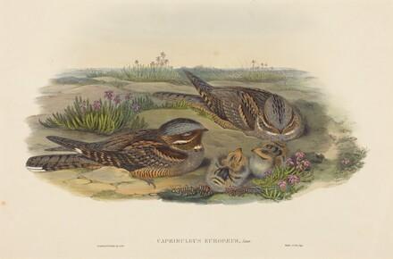 Caprimulgus europaeus (Nightjar)