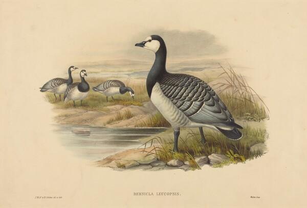 Barnacle Goose (Bernicla Leucopsis)