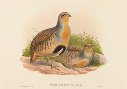 Perdix barbata (Daurian Partridge)