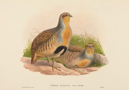 Perdix barbata (Daurian Partridge)