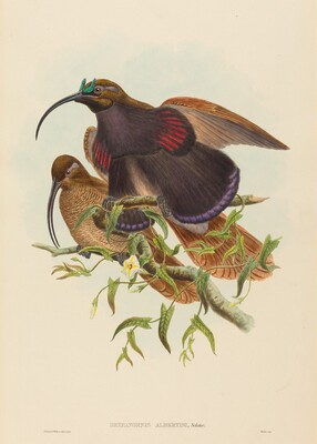 Drepanornis albertisi (Black-billed Sicklebill Bird of Paradise)