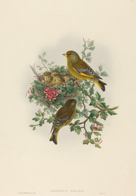 Ligurinus chloris (Greenfinch)
