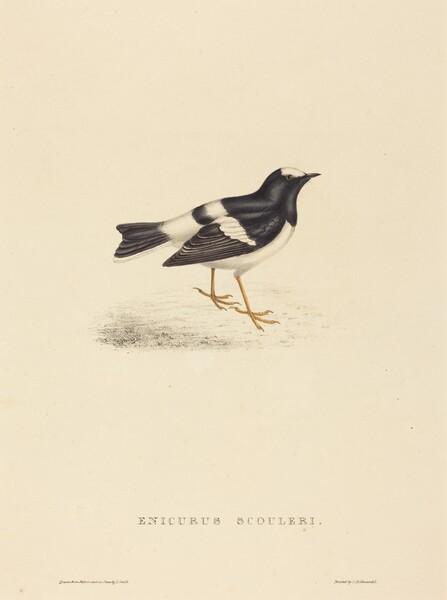 Enicurus Scouleri (Little Forktail)