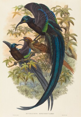 Epimachus speciosus (Sickle-billed Bird of Paradise)
