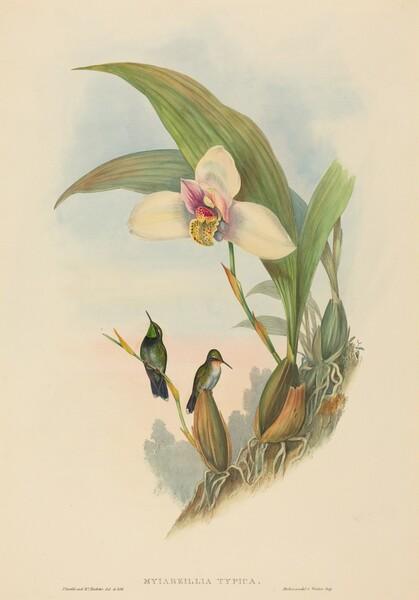 Myiabeillia typica (Abeille's Hummingbird)