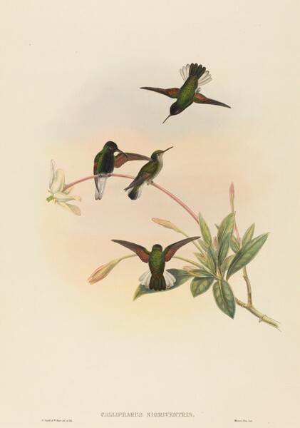 Callipharus nigriventris (Black-bellied Hummingbird)