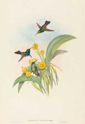 Damophila amabilis (Blue-breasted Hummingbird)