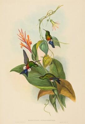 Eriocnemis cupreiventris (Coppery-vented Puff-Leg)