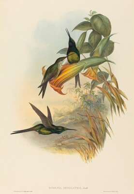 Eugenia imperatrix (Empress Hummingbird)