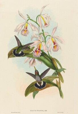 Glaucis fraseri (Fraser's Barbed-throat)