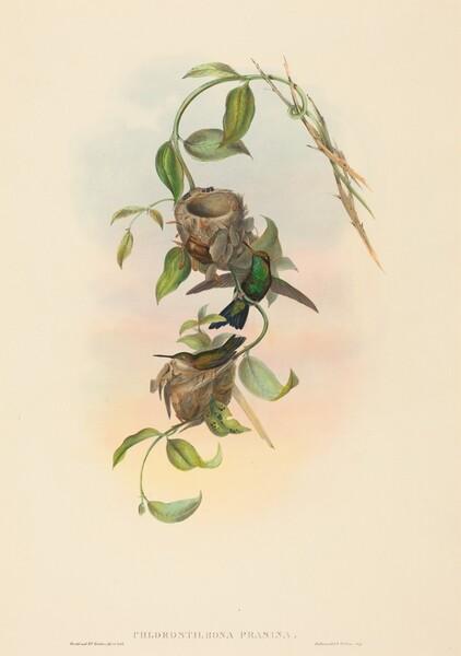 Chlorostilbona prasina (Puncheran's Emerald)
