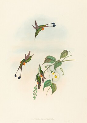 Spathura rufocaligata (Red-booted Racket-Tail)