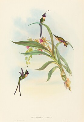 Tharmastura enicura (Slender Shear-Tail)