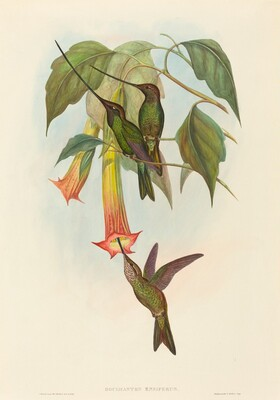 Docimastes ensiferus (Sword-billed Hummingbird)