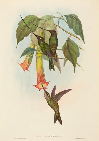 Docimastes ensiferus (Sword-billed Hummingbird)