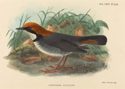 Bird (Larvivora Ruficeps)