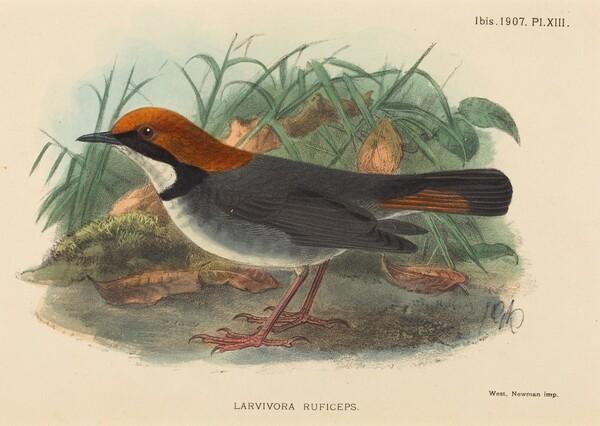 Bird (Larvivora Ruficeps)