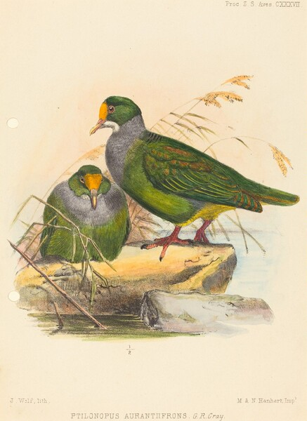 Two Birds (Ptilonopus Auranthfrons)