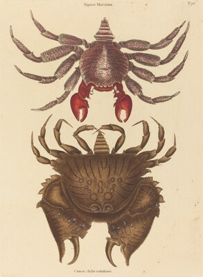 Red Mottled Rock-crab (Cancer grapsus)