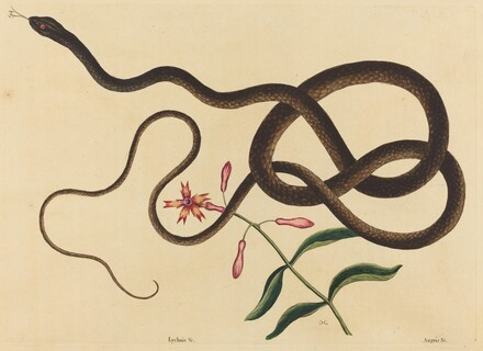 The Coach-Whip Snake (Coluber flagellum)