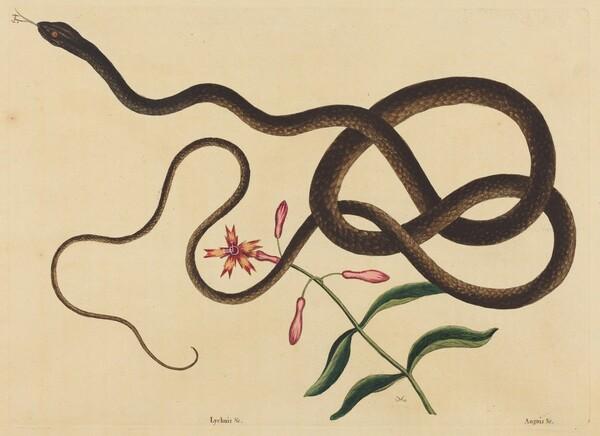 The Coach-Whip Snake (Coluber flagellum)