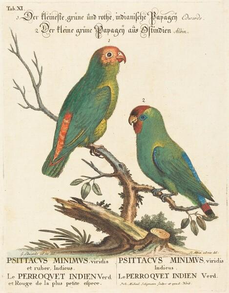 Parrot (Le Perroquet Indien. Psittacus Minimus)