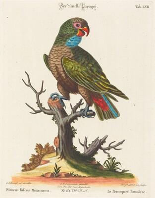 Parrot (Le Perroquet Brunatre. Pfittacus Fulcus Mexicanus)
