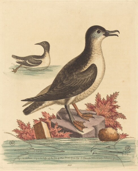The Guillemot and the Puffin of the Isle of Man