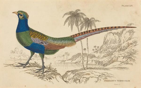 Phasianus Versicolor