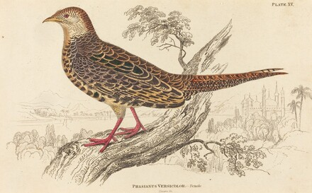 Phasianus Versicolor - Female