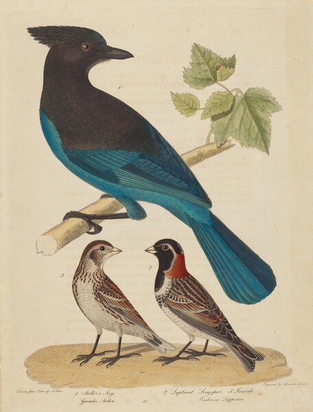 Stellar's Jay, Lapland Longspur and Female