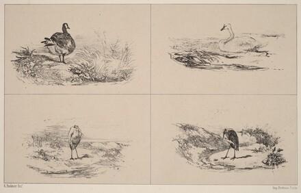 Oies, Cygnes, herons
