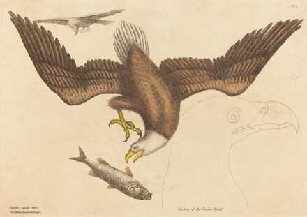 The Bald Eagle (Falco leucocephalus)
