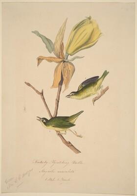 Kentucky Fly-catching Warbler