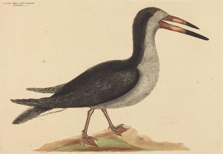 The Cutwater (Rhynchops nigra)