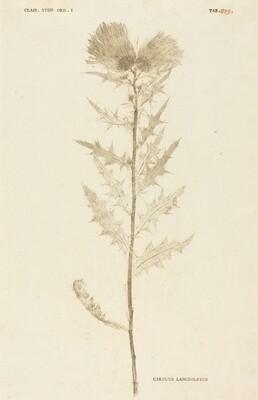 Carduus Lanceolatus