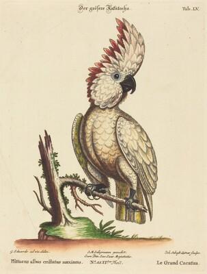 Psittacus albus cristatus maximus