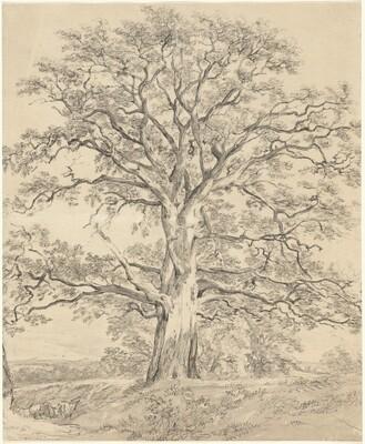 A Great Oak Tree