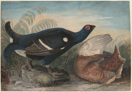 English Black Cocks