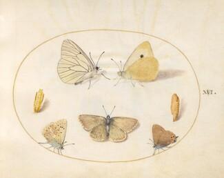 Animalia Rationalia et Insecta (Ignis):  Plate XVI
